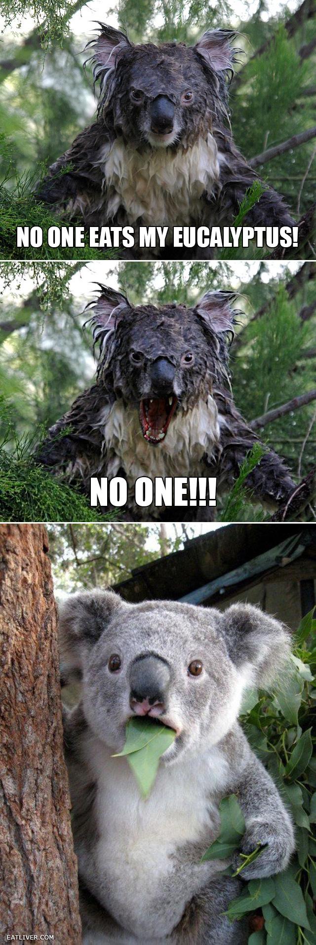 No one eats my eucalyptus! | Funny koala, Funny animals ...  Funny Koala Memes