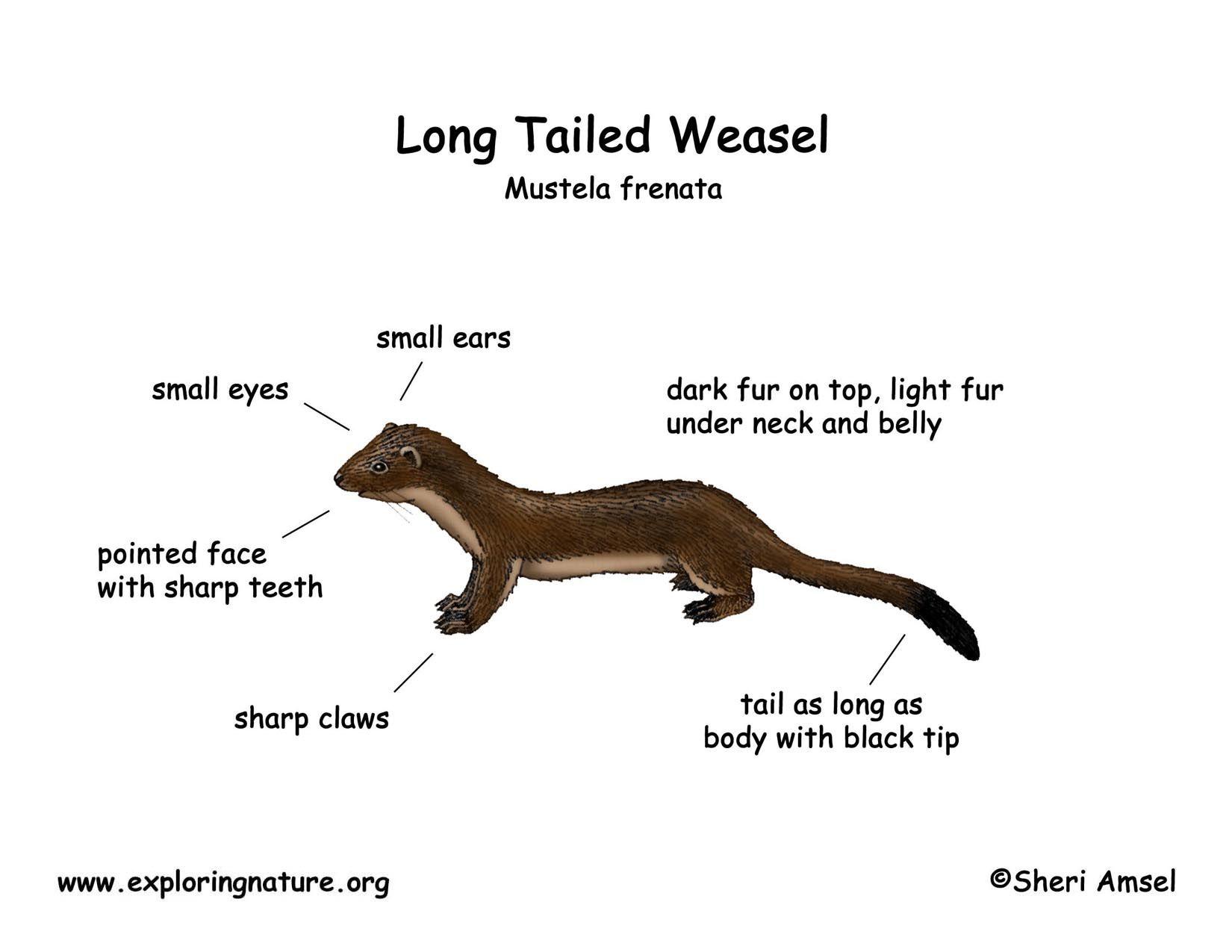river otter diagram download hi res color diagram [ 1650 x 1275 Pixel ]