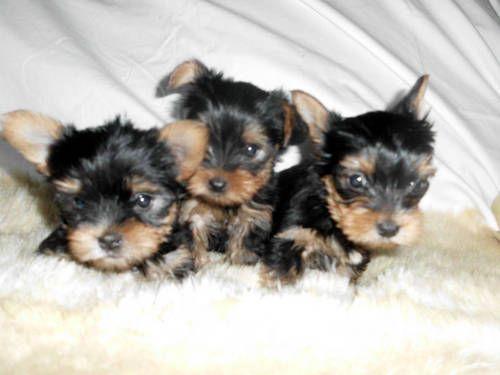 Ckc Cute Tiny Teacup Yorkshire Terrier Yorkie Puppies Chien Mignon