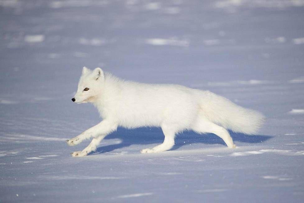 Arctic Fox, Finnish Nature, May 2017