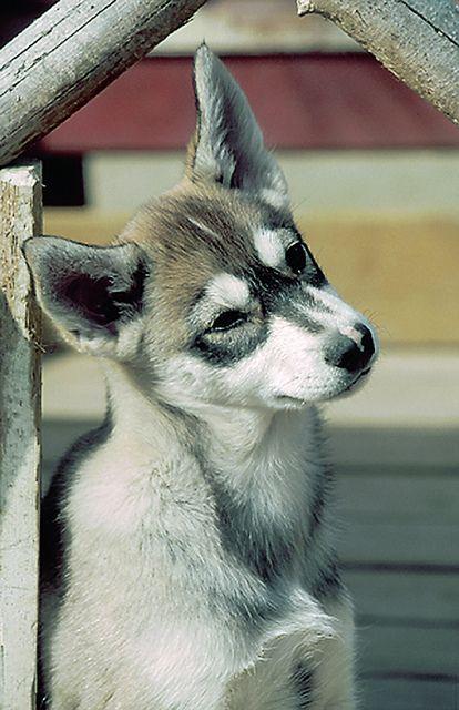 Husky Puppy In Harriniva Finnish Lapland Husky Puppy Cute