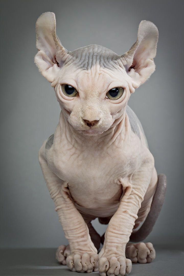 Dwelf Cat, Sphinx Cat, Cute Cats