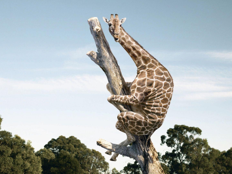 Jirafa subida a un arbol seco by Rotezola Lee (Zola Lee) y depositada en  Flickr.   Giraffe, Giraffe pictures, Funny giraffe