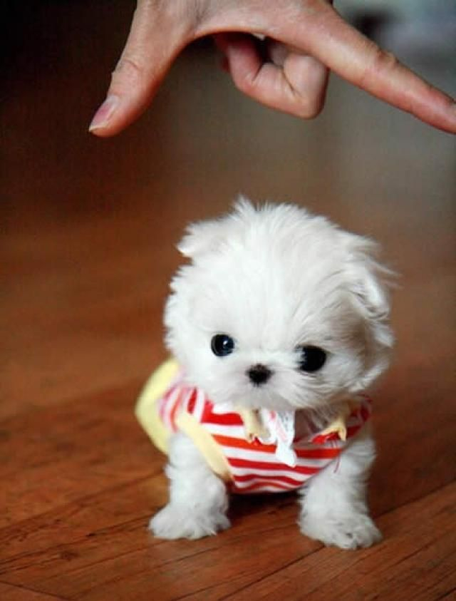 A tiny, white puppy wearing a red and white striped shirt.