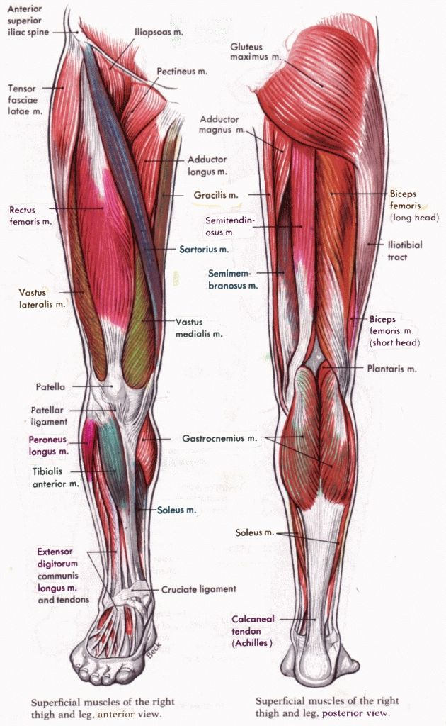 Human Anatomy Leg Muscles Human Anatomy And Physiology Diagrams Legs