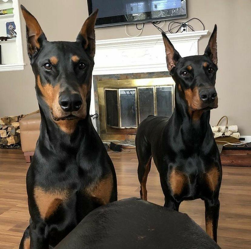 Itsumi In 2020 Doberman Pinscher Dog Doberman Puppy Dogs