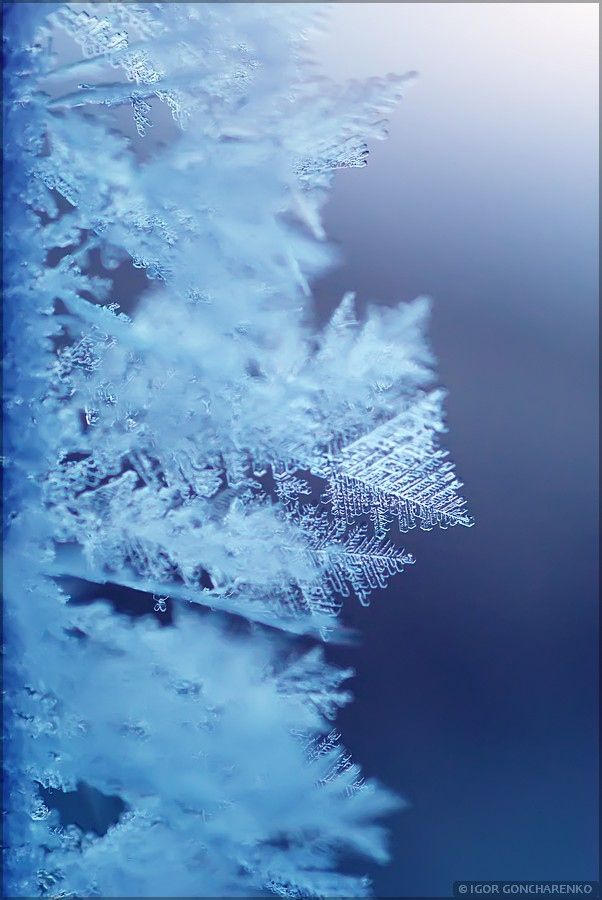 Rime on branch. Element of Xmas design.