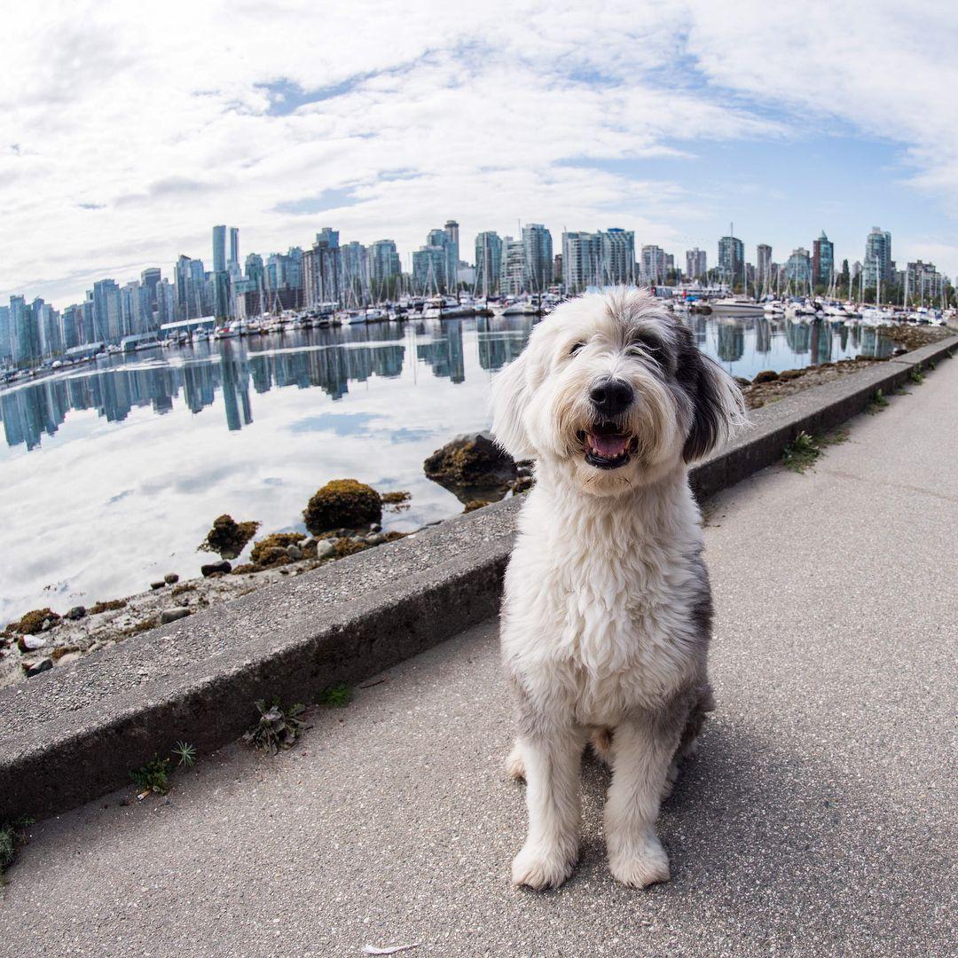 Carl Old English Sheepdog 9 Y O Vancouver Seawall Vancouver