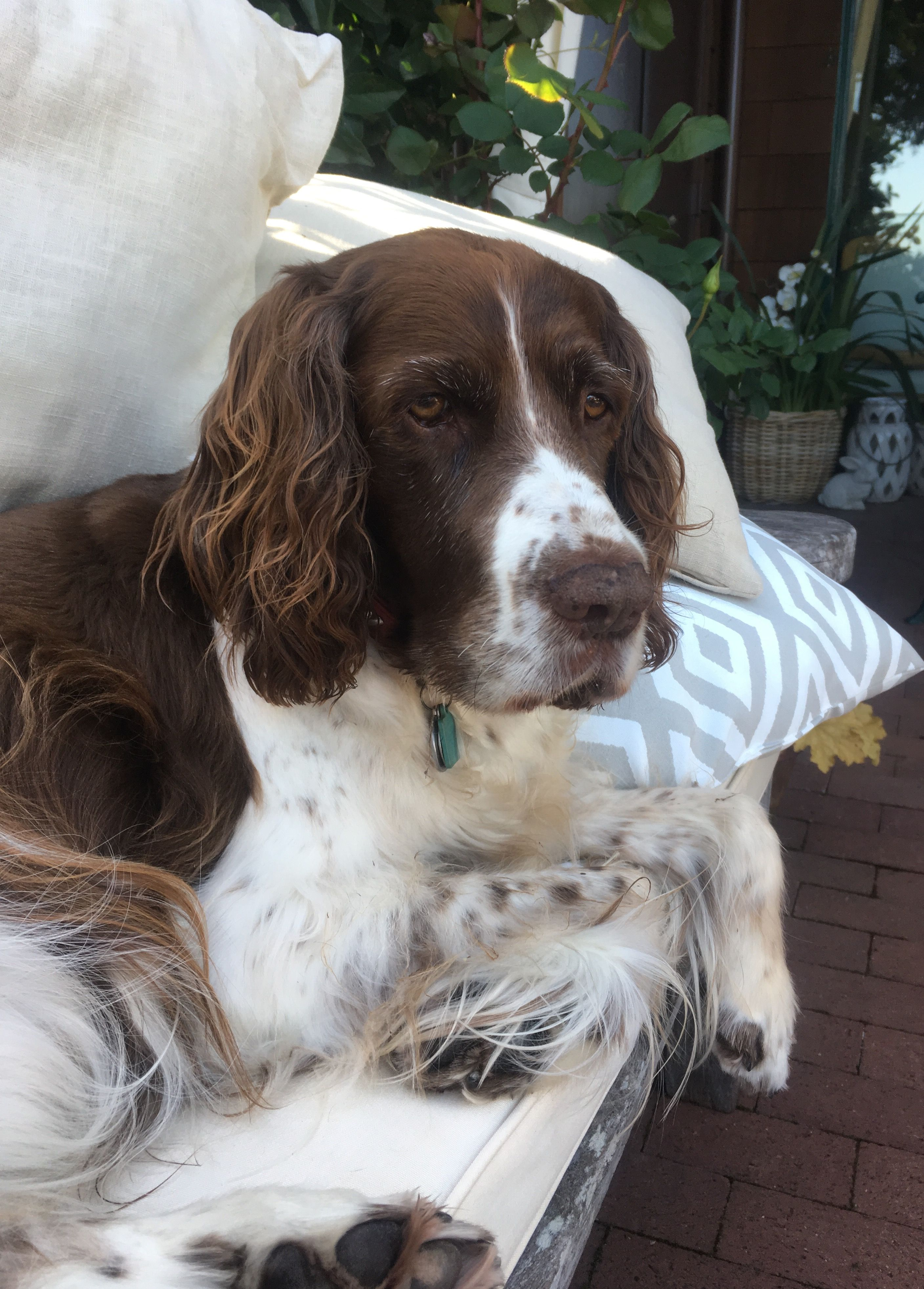 Pin By Susiemac On Just Jake English Springer Spaniel Spaniel Springer Spaniel Puppies