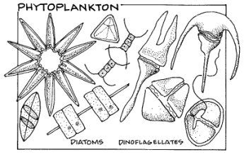 Phytoplankton Black And White Sketches Plankton Clip Art