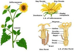 Parts Of A Sunflower Planting Sunflowers Parts Of A Plant Sunflower