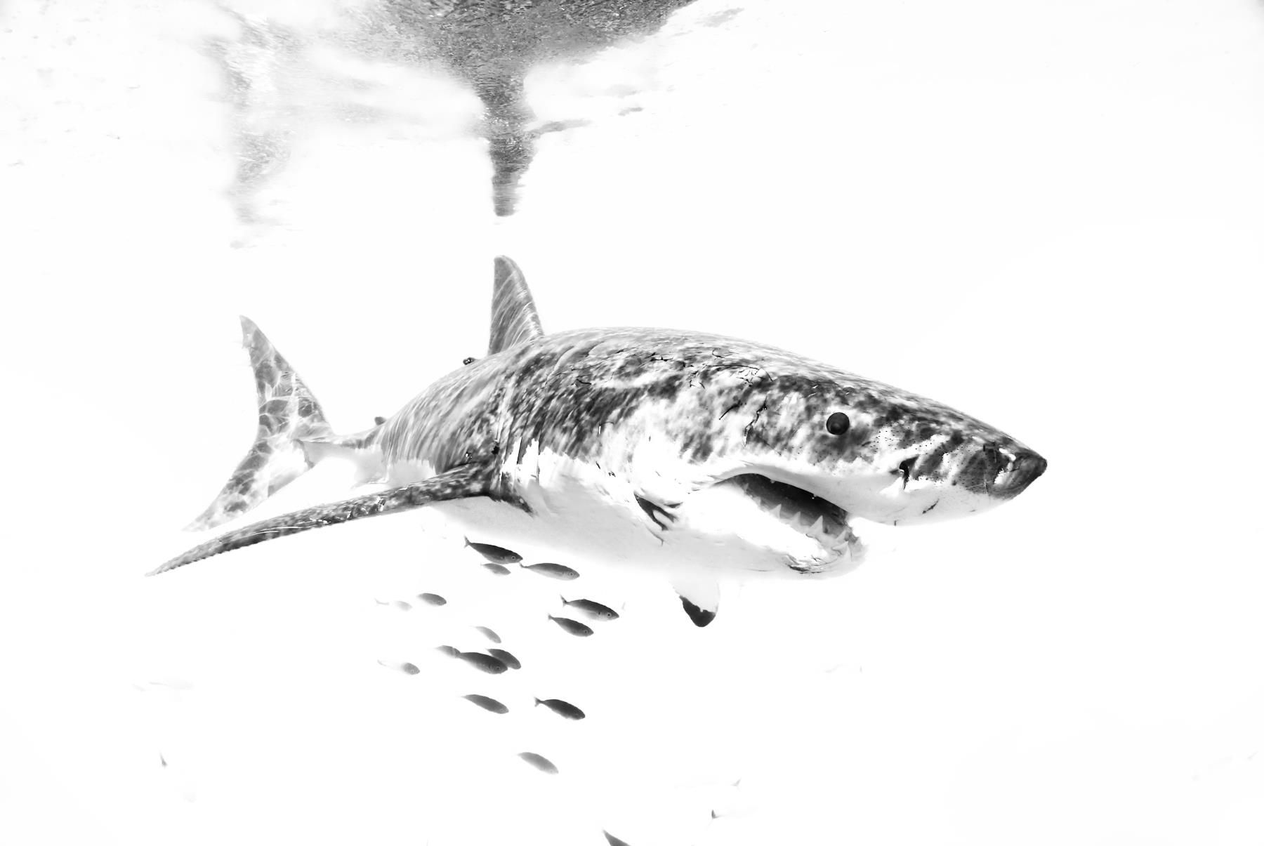 Great white shark in b+w...could be an awesome tattoo   tiburon ...