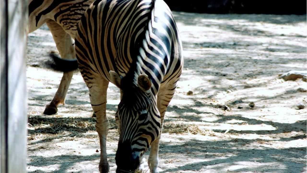 a1cbb5e9e7698 Cairo zoo denies its zebras are really donkeys with painted stripes ...