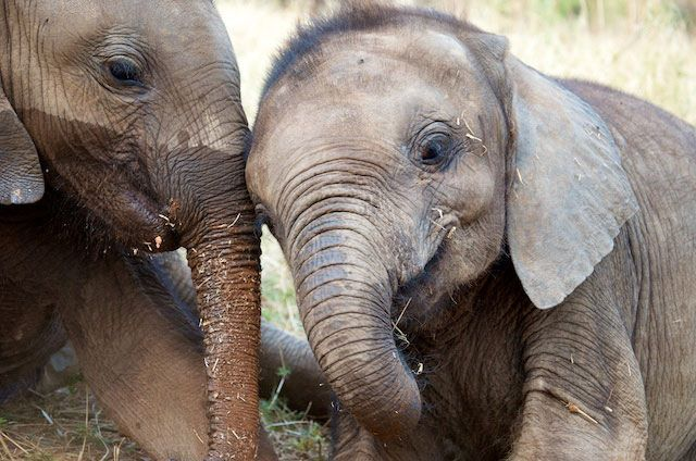 Babies elephants