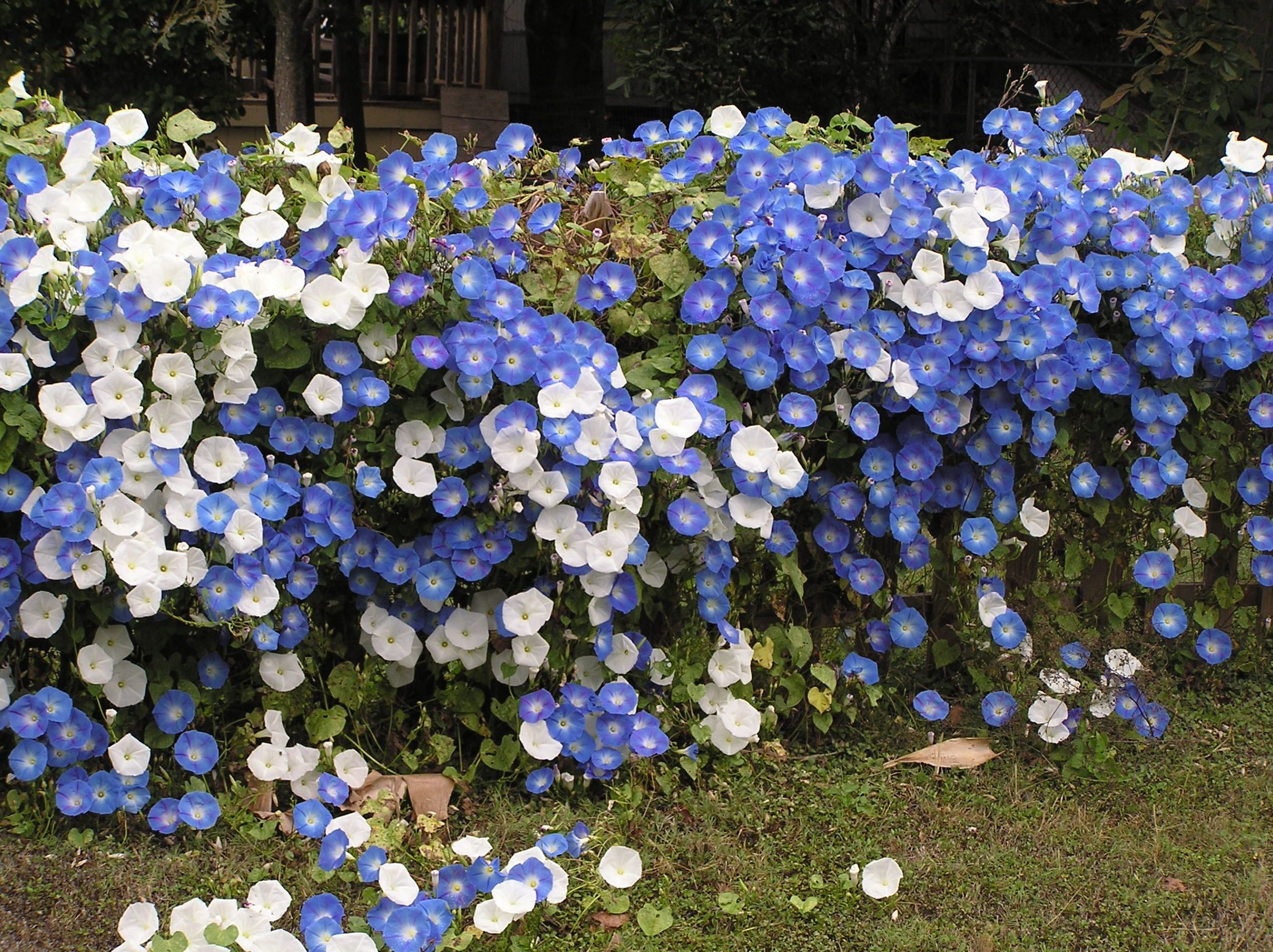 Morning Glory Fence Line Love It Morning Glory Morning Glory Flowers Blue Morning Glory
