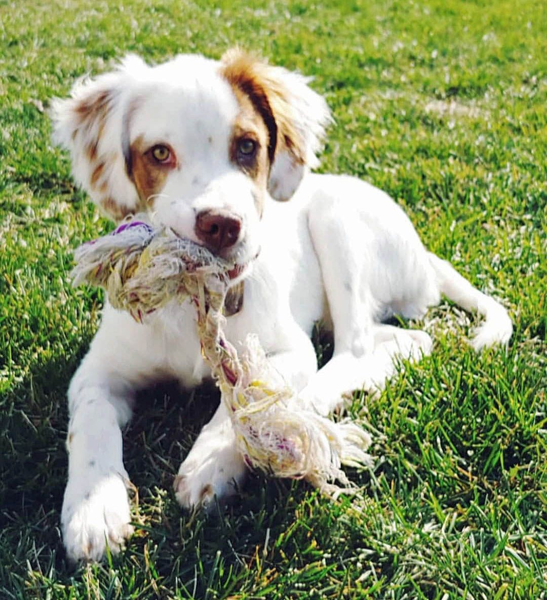 Nikko A Sweet Loving Smart 5 Month Old English Setter Mix Male Puppy Available For Adoption From A Setter Puppies English Setter Puppies Dog Breeds Little