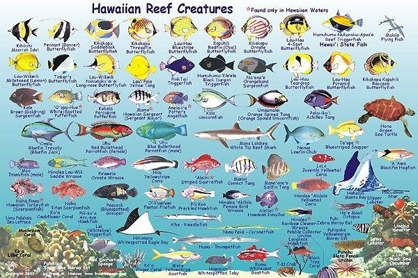 Maui fish franko 39 s molokai creatures guide maui hawaii for Tropical fish temperature chart