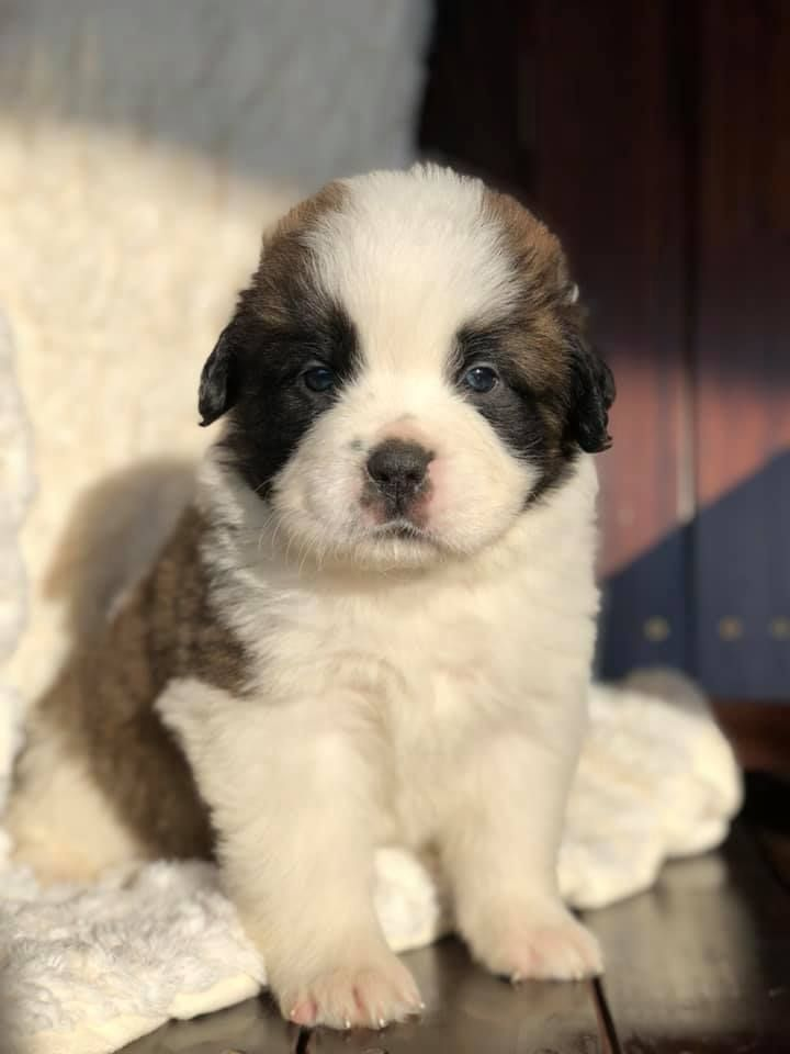Pin By Peggy Nation On K9 Likes St Bernard Puppy Cute Puppy Breeds Funny Puppy Pictures