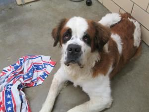 Beethoven Is An Adoptable Saint Bernard St Bernard Dog In New