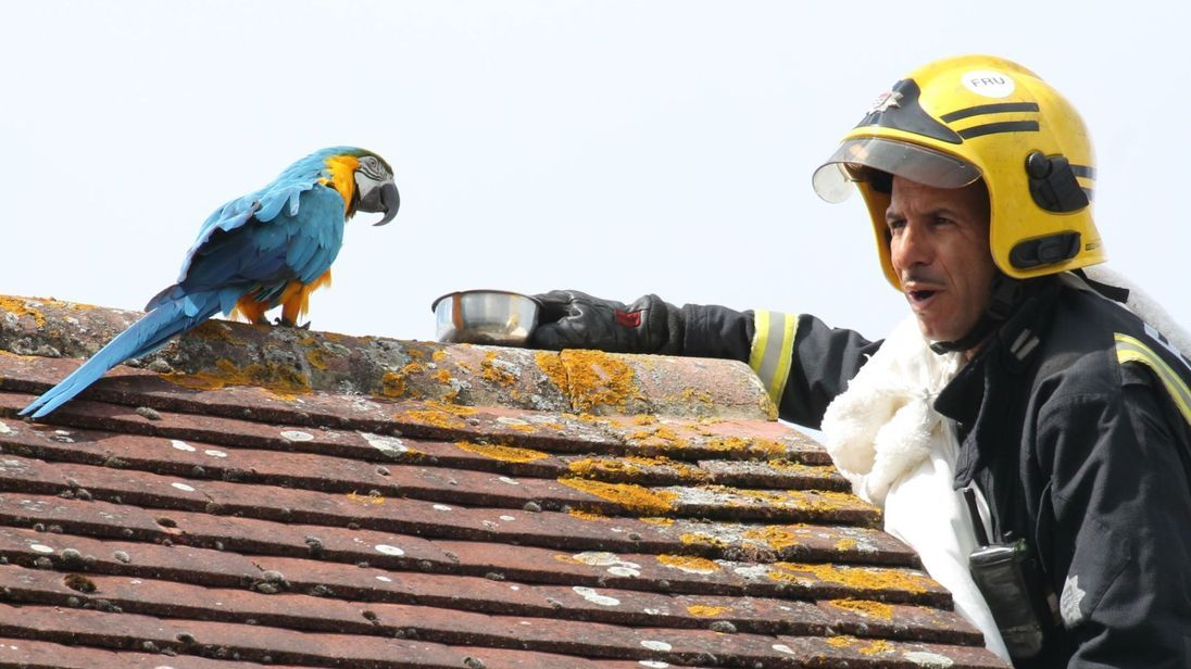 Stranded Parrot Goes Viral For Telling Firefighter To F Ck Off When He Tried To Rescue It Macaw Parrot Parrot Macaw