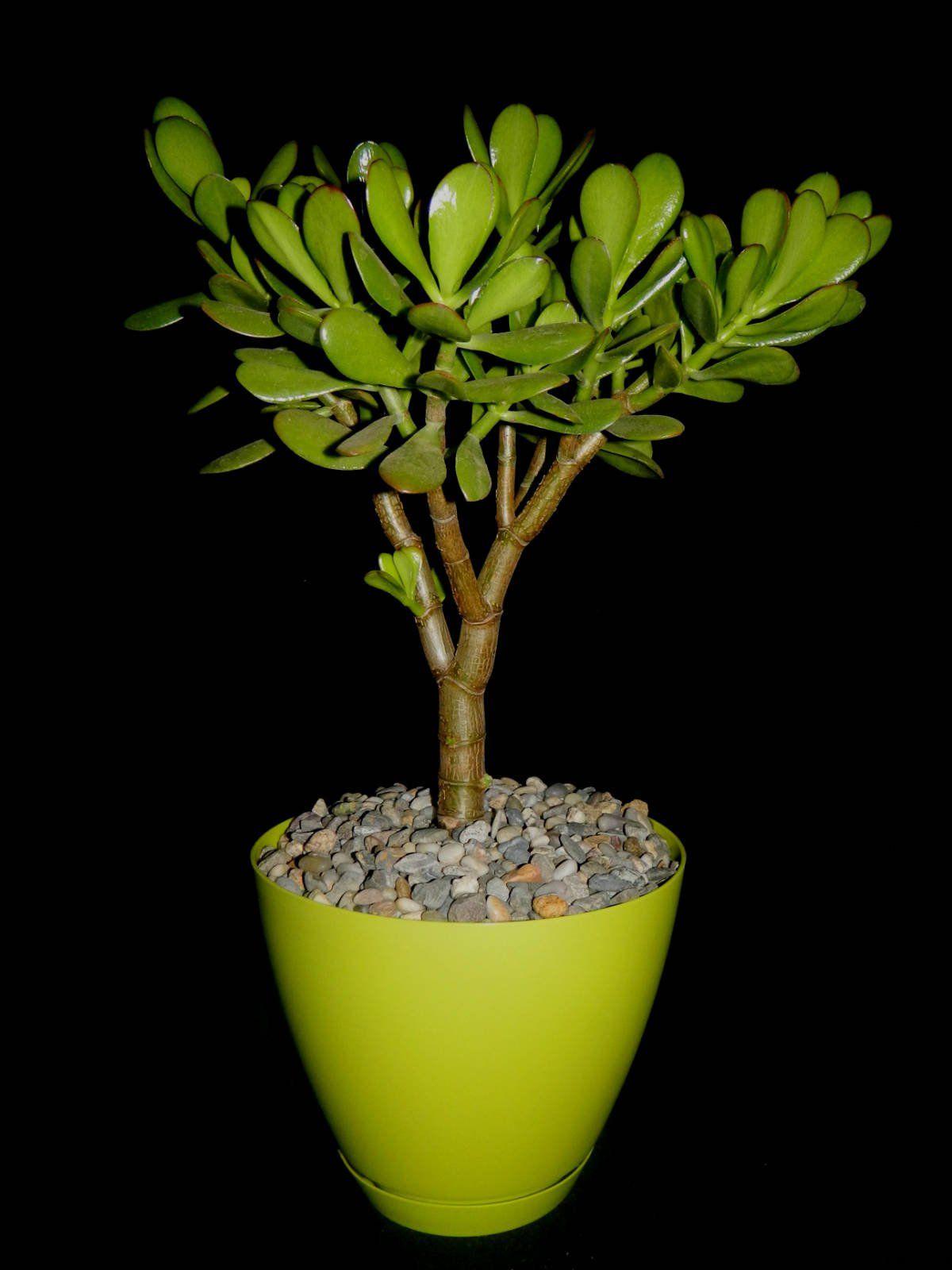 Crassula Ovata Jade Plant Crassula Jardinage Et Plante Jardin
