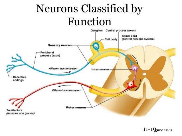 Functional classification of neurons ap pinterest functional classification of neurons ccuart Images