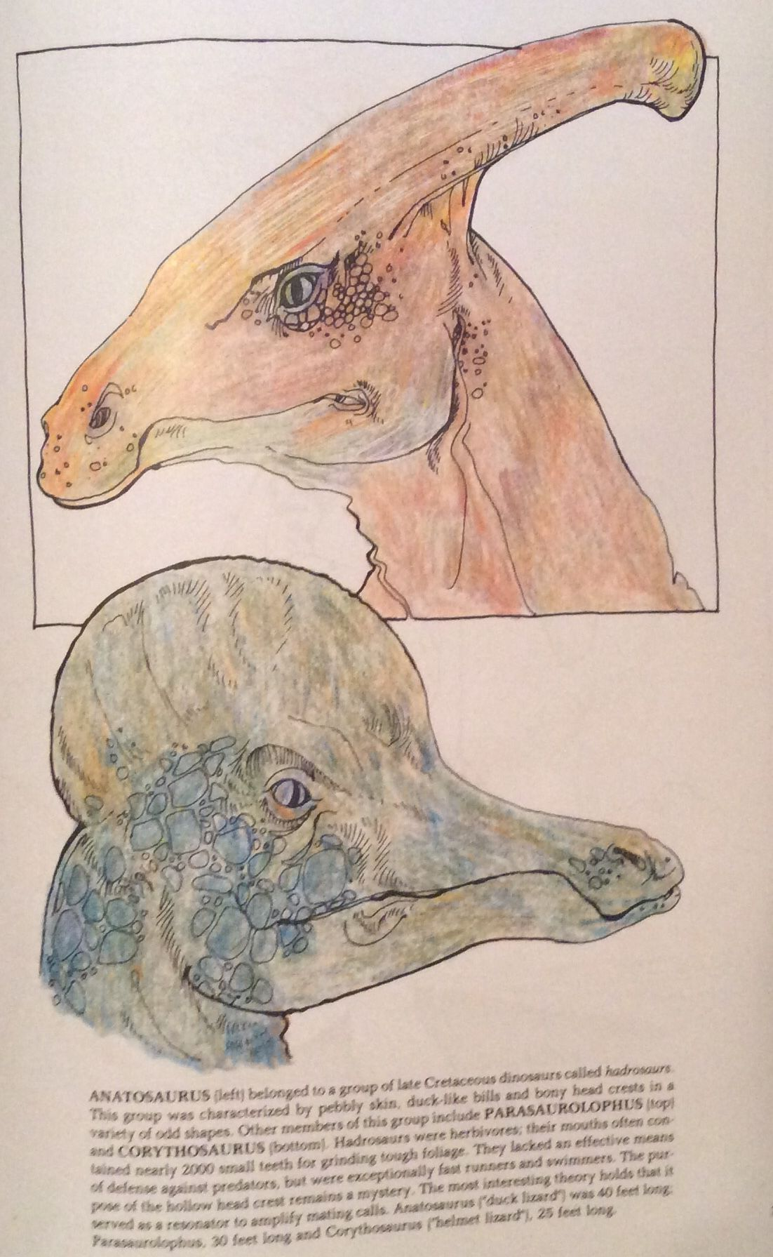 Parasaurolophus (top) and Corythosaurus (bottom