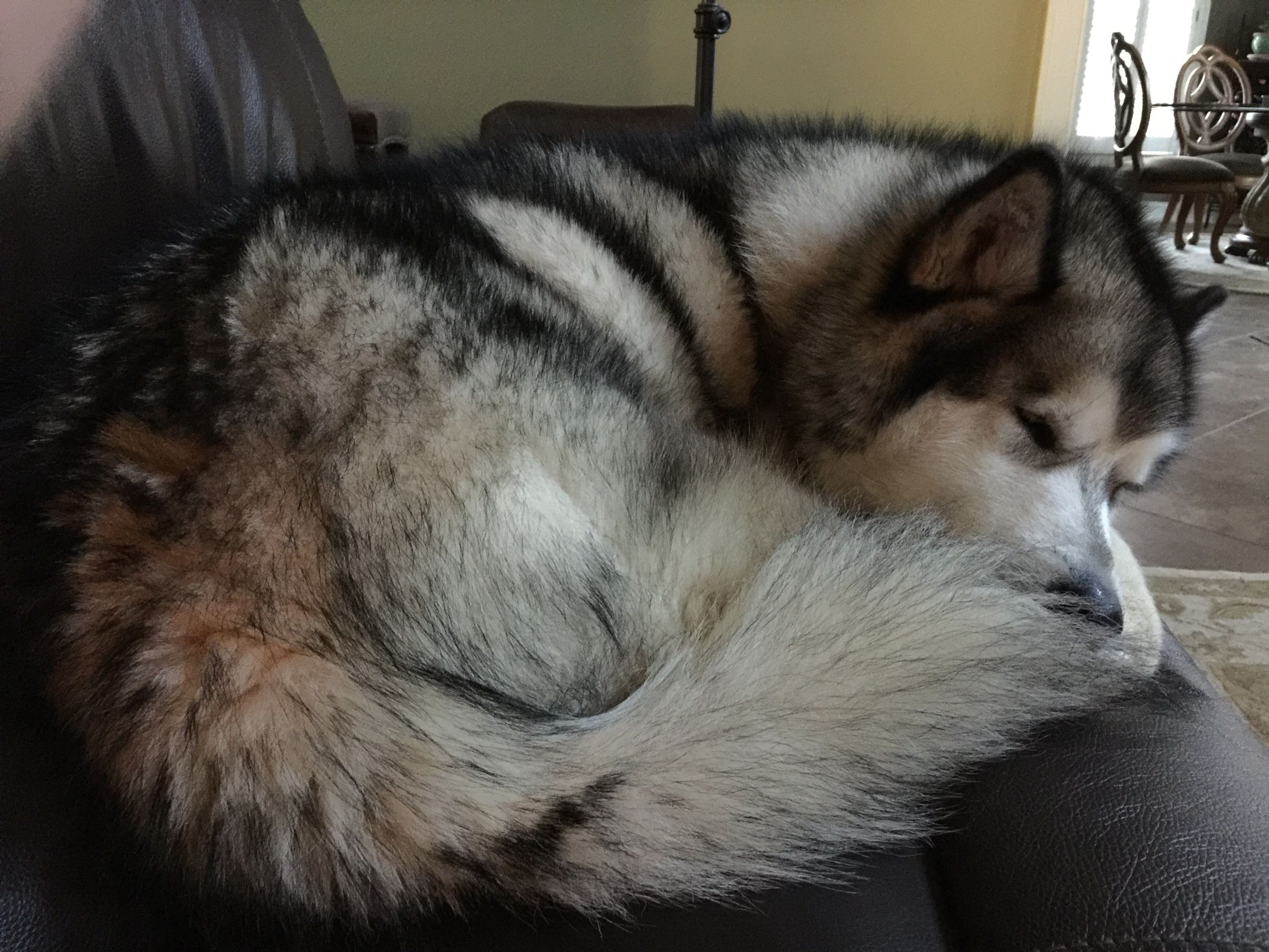 Nothing like the couch for a nap Malamute, Dogs, Animals