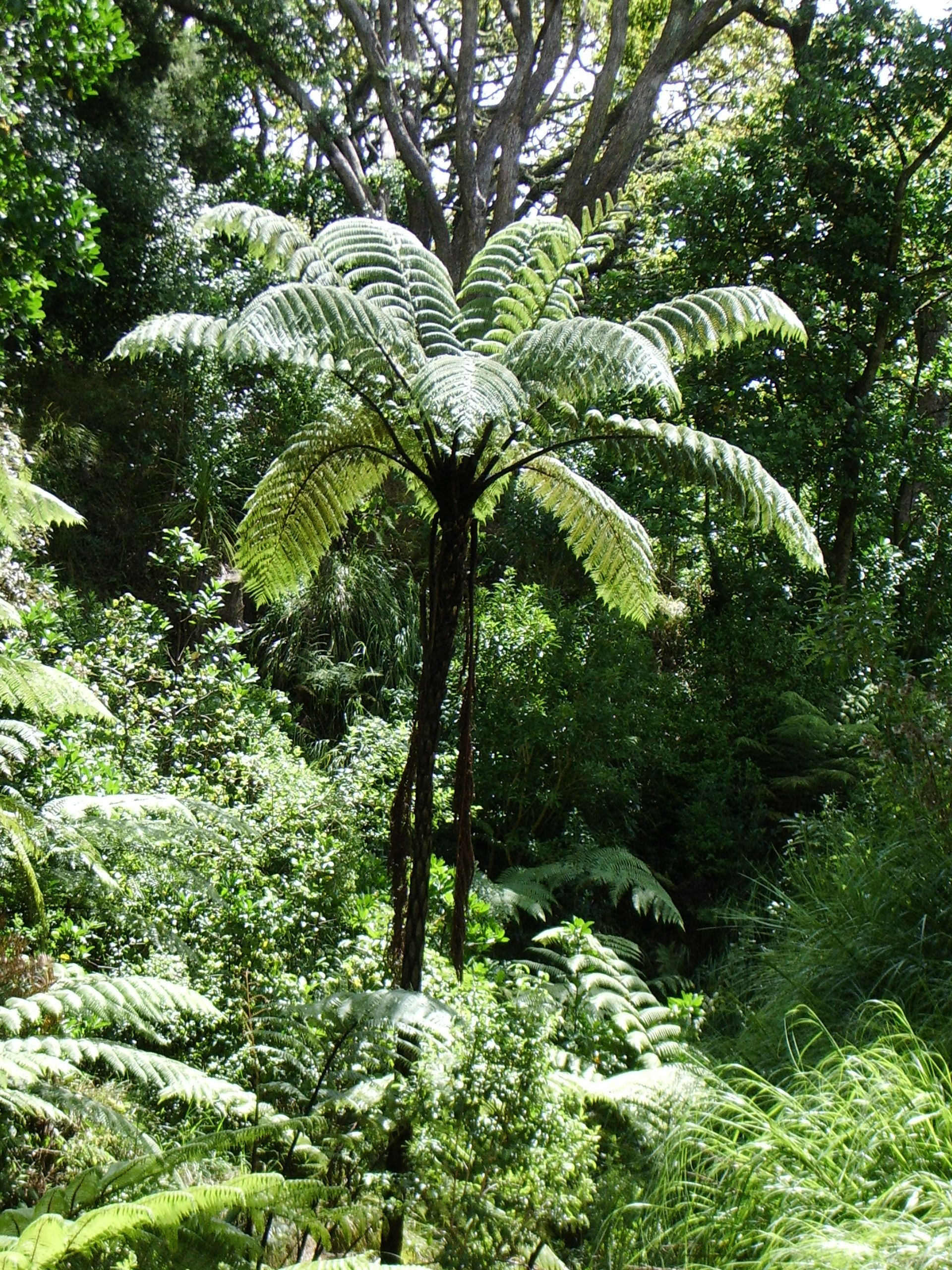 A black tree fern in the auckland domain tree fern