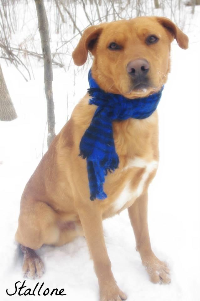 Adopt Stallone On Golden Retriever Lab Mix Labrador Retriever
