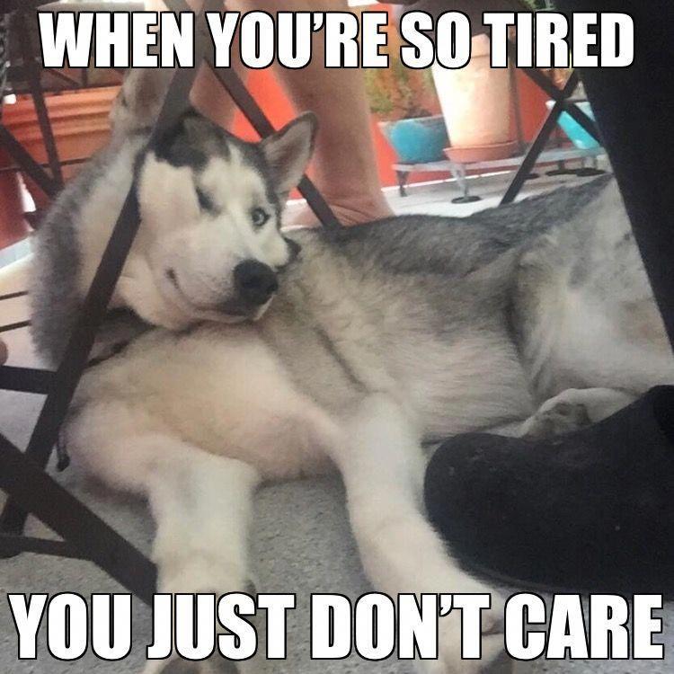 Siberian Husky Grooming Funny Husky Meme Dog Quotes Funny