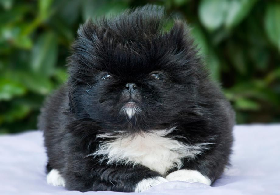 Find Pekingese Puppies In Your Area And Helpful Tips And Info All Purebred Pekingese Puppies Are F Pekingese Puppies Pekingese Puppies For Sale Shih Tzu Puppy