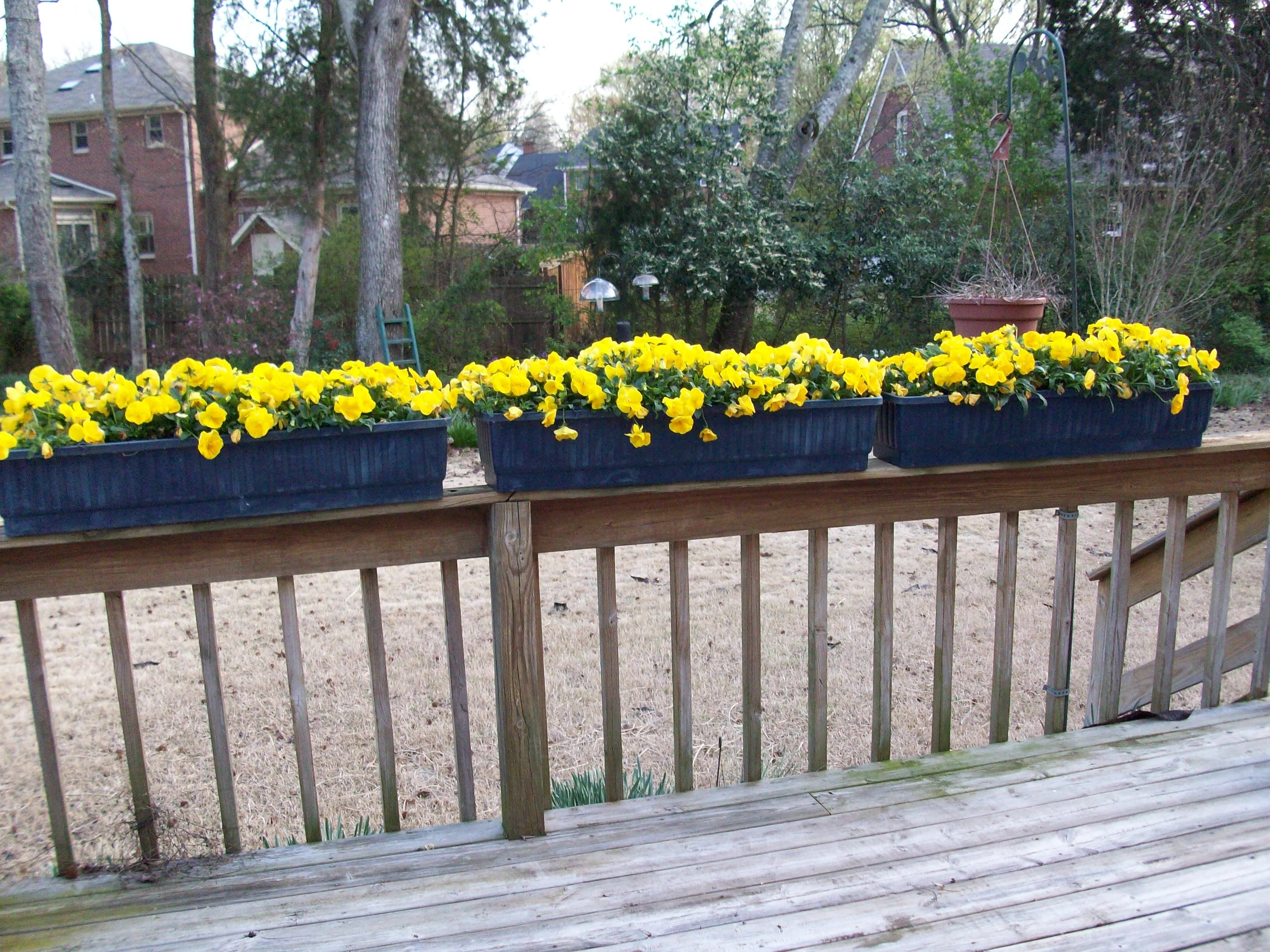 Looking out kitchen window  window boxes of pansies which i plant every winter to put on the