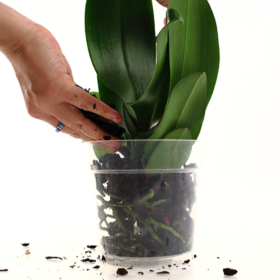 Buy Orchids Online Just Add Ice Just Add Ice Orchids Orchid Pests Buy Orchids