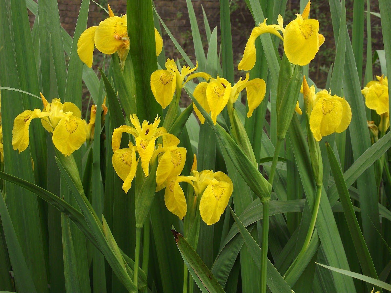 Yellow Flag Iris Iris Gialli Pinterest Iris And Plants