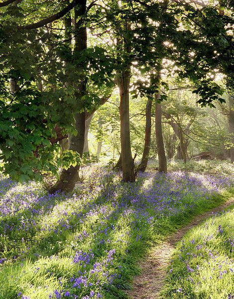 Flower Poster featuring the photograph Magical Path Through Bluebell Forest With Early Morning Sunrise by Simon Bratt Photography LRPS