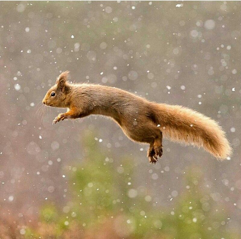 Super squirrel! Flying squirrel, Squirrel, Animals