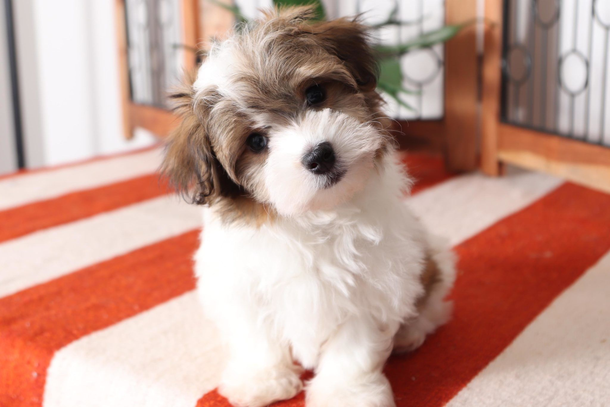 Burt Playful Little Male ACA Havanese Puppy Puppies