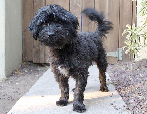 Los Angeles Ca Lhasa Apso Meet Scout A Pet For Adoption Lhasa Apso Dog Training Obedience Labrador Retriever Dog