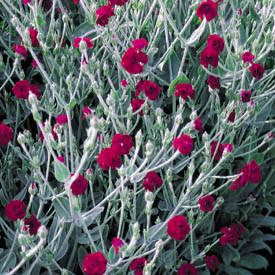 Rose Campion (Lychnis Coronaria 'Blych'). These guys seed like crazy. Dead head and they will keep blooming ..... word of caution, be prepared to spend lots of time on this task, there are lots of tiny blooms.