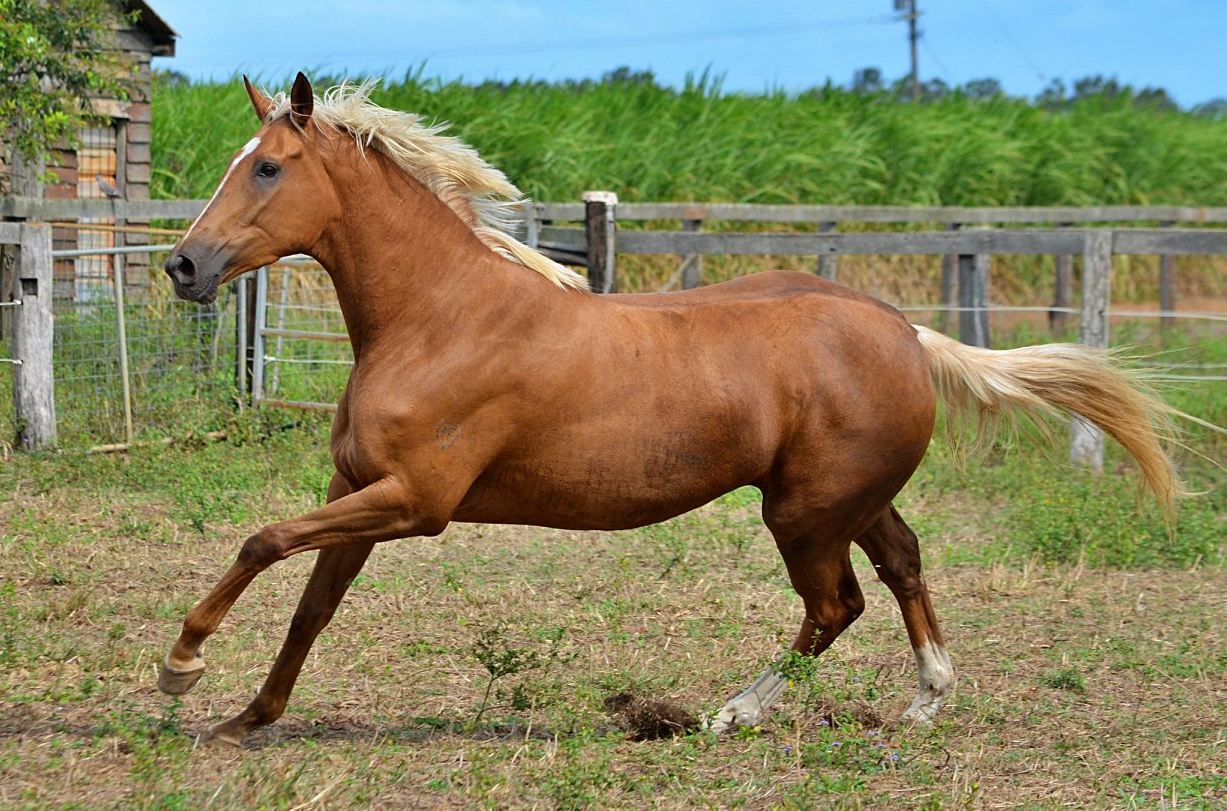 Pin On Palomino Thoroughbreds