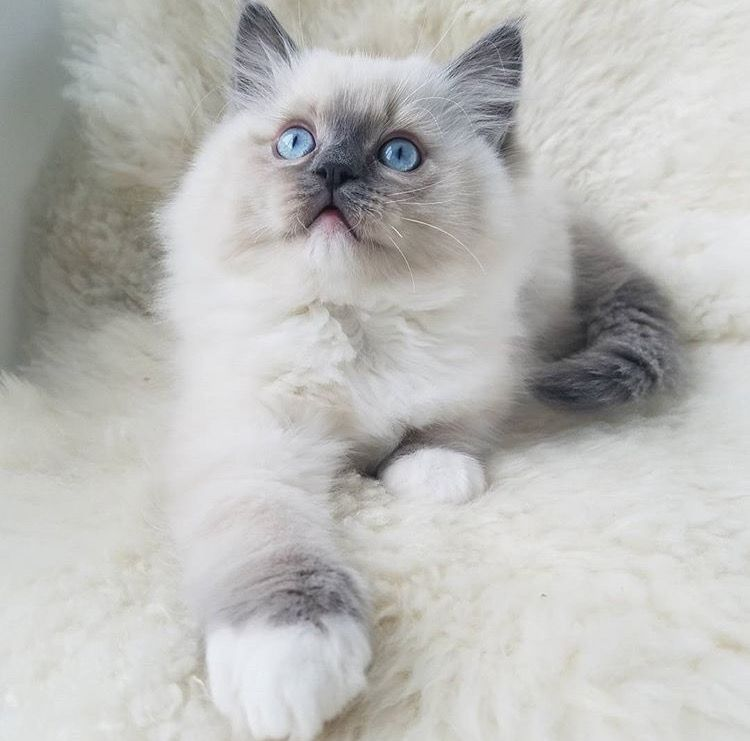 Blue Point Mitted Ragdoll Flower Baby Ragdolls Beautiful Cats