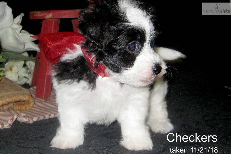 Malti Poo Maltipoo Puppy For Sale Near Tulsa Oklahoma