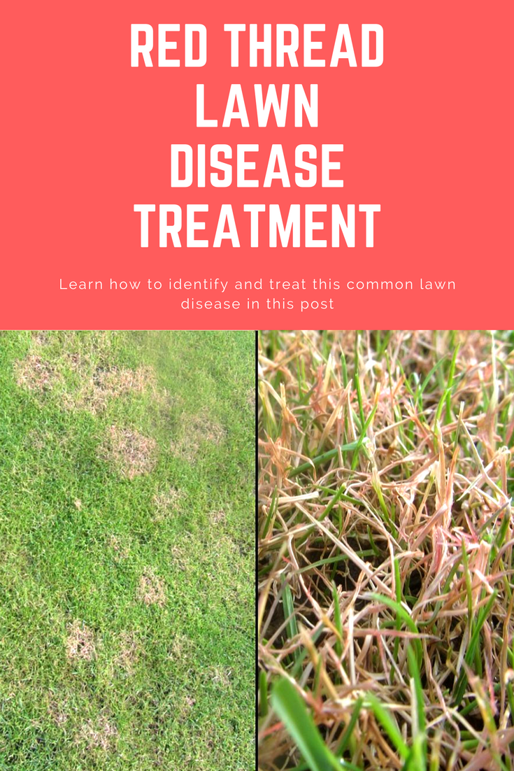 Learn How To Identify Treat And Prevent The Common Lawn Disease Red Thread By Having A Read Of This Post It Might Not Affe Lawn Treatment Lawn Fall Lawn Care