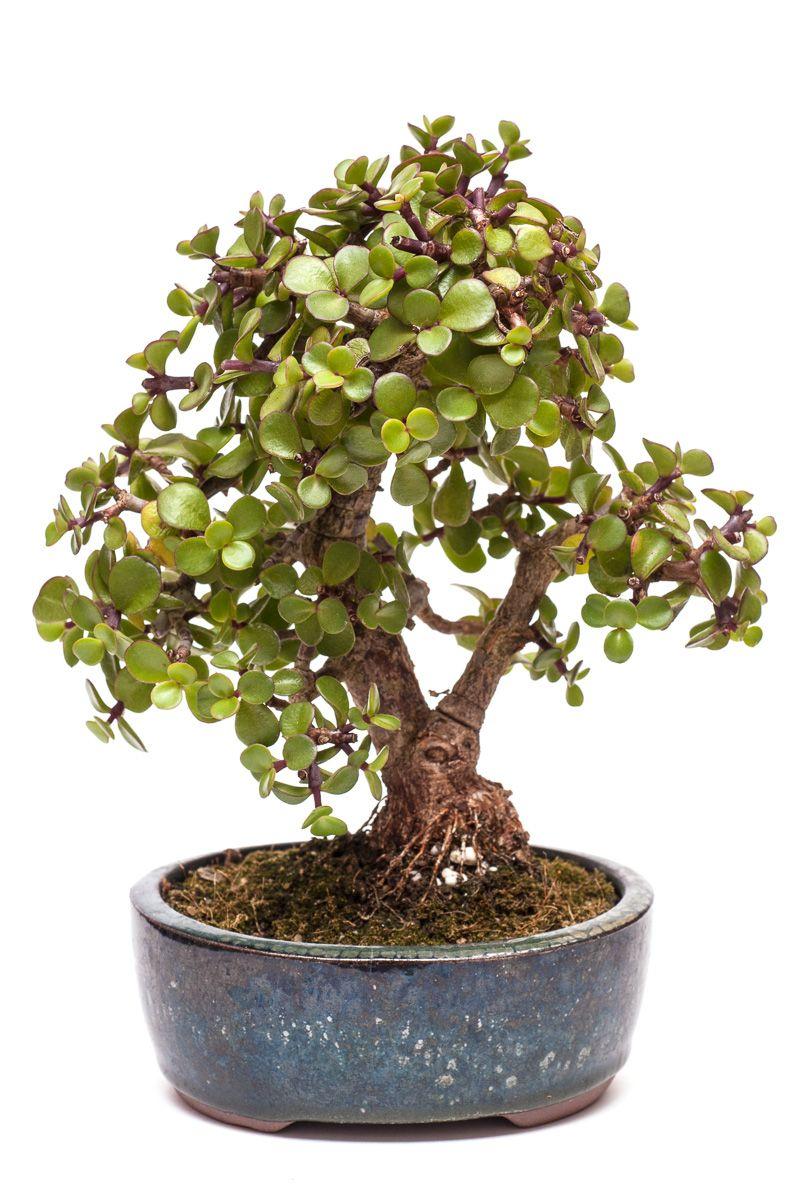 jadebaum portulacaria afra als bonsai baum bonsai pinterest bonsai jade bonsai und. Black Bedroom Furniture Sets. Home Design Ideas