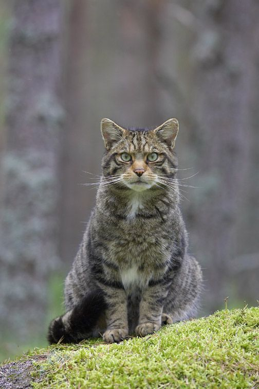 Scottish Wildcat Felis Silvestris Adult In Pine Forest Scotland