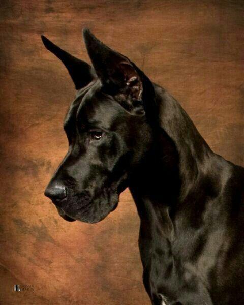 Stealth Dane Sinister Great Dane Dogs Dane Dog Beautiful