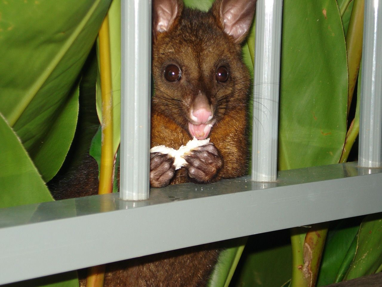 Island, Possum Possum Eating Hamilton Island Austr island