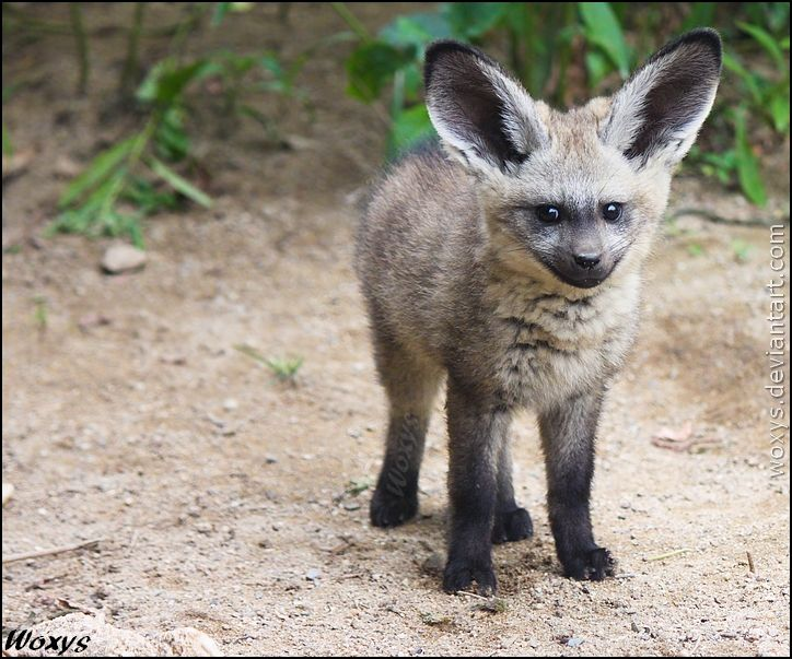 Very adorable baby Bat-eared fox / Big-eared dog (Otocyon megalotis, pes usaty) from ZOO Prague ____________ Canon 500D + kit lens 55-250 IS ____________ INFO ABOUT THE ANIMAL: Name: Bat-eared fox ... woxys