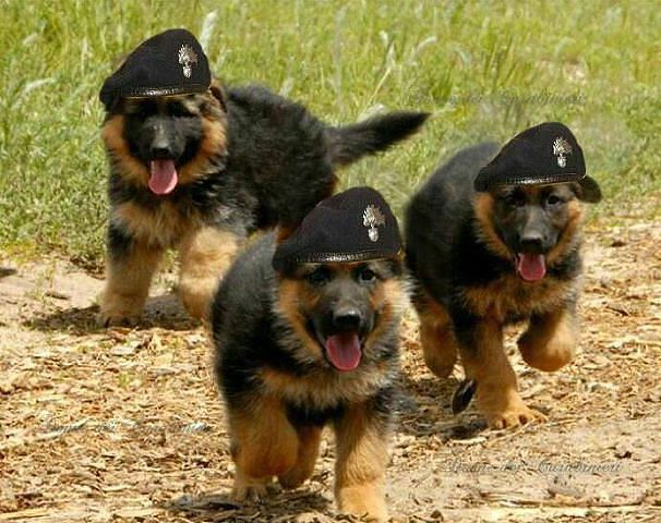 German Shepherd Puppies Shepherd Puppies Dogs Puppies